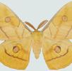 Der Japanische Eichenseidenspinner; Bild 0