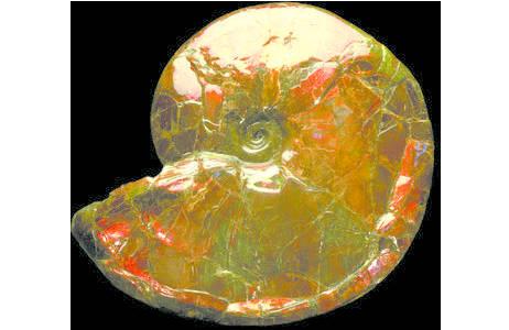 Schillernde Perlmuttschicht - Ammolit (2006z-0260-0001)