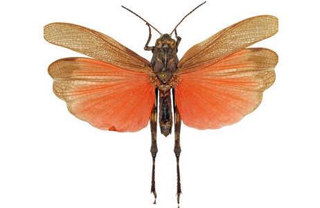 Männchen der Rotflügligen Schnarrschrecke (Psophus stridulus).; Foto: NHM Wien, H. Bruckner
