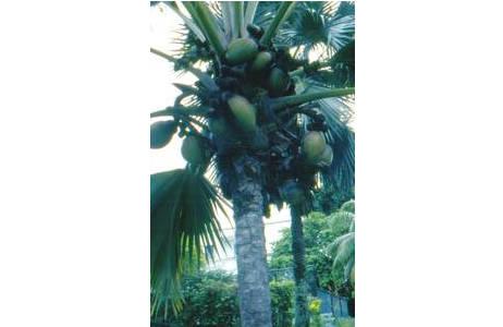 Fruchtender Baum der Seychellenpalme im botanischen Garten in Victoria, in Mahé, Seychellen; Foto: Franz Tod, HBV
