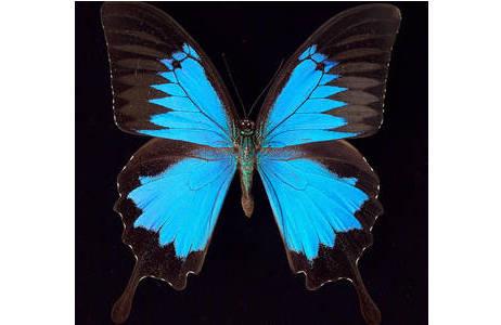 Abb 1: Papilio ulysses, Südost-Asien; Foto: A. Schumacher, NHM Wien