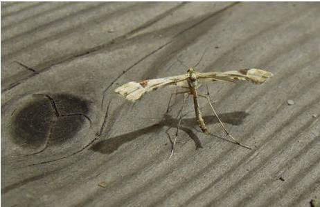 Federmotte (Pterophoridae) am Licht. Juli 2012, Tirol, Pfunds; Foto: M. Lödl, NHM Wien