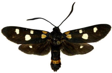 Das Veränderliche Widderchen (Zygaena ephialtes) gehört zur Familie der Widderchen (Zyganidae); Foto: H. Bruckner, NHM Wien