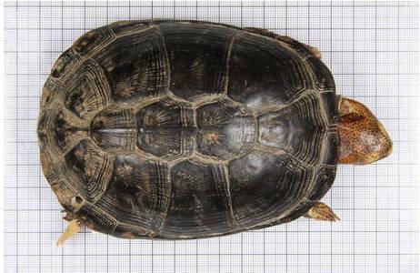 Dorsalansicht, Typensammlung im Tiefspeicher der Herpetologischen Sammlung; Foto: H. Grillitsch, NHM Wien
