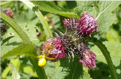 Abb. 4: Krabbenspinne erlegt Honigbiene (Apis mellifera), Juni 2010, Friaulische Dolomiten; Foto: M. Lödl, NHM Wien
