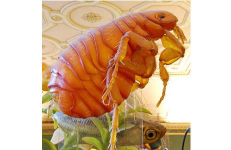 Modell eines Menschenflohs (Pulex irritans) von ModellbauerHans Dappen; Foto: H. Bruckner, NHM Wien