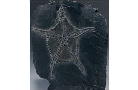 Fossiler Schlangenstern (1895-0003-0021)