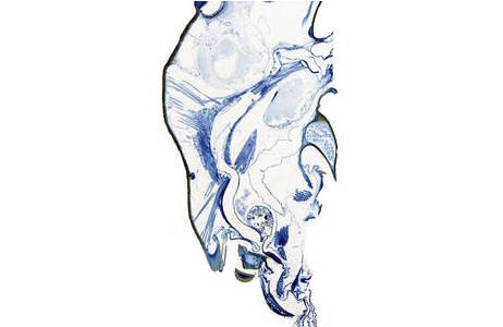 Histologischer Längsschnitt des Kopfes der Stechimme Pison chilense.; Foto: NHM Wien