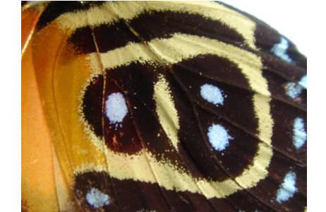 """Abb. 4: Callicore cynosura, Peru, Unterseite der Hinterflu?gel zeigt die Zahl """"98""""; Foto: M. Lödl, NHM Wien"""