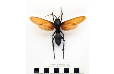 Der Tarantulafalke (Pepsis sp.) – eine der größten Wespen der Welt; Foto: D. Zimmermann, NHM Wien