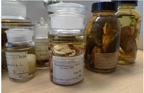 Im Vordergrund das Sammlungsglas der Bunte Kammmuschel (Mimachlamys varia), die 1894 im Roten Meer gesammelt wurde. Im Hintergrund weitere Sammlungsgläser die untersucht wurden.; Foto: NHM Wien, K. Mason