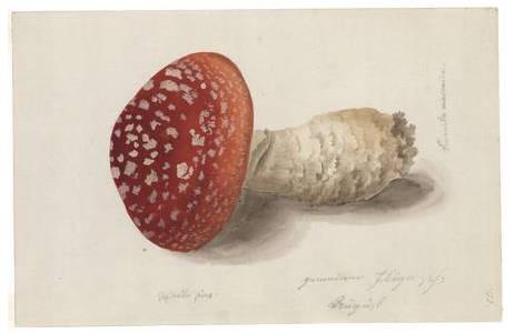 Franz Reinelli, gemeiner Fliegenpilz, Aquarell, vor 1806; Foto: NHM Wien