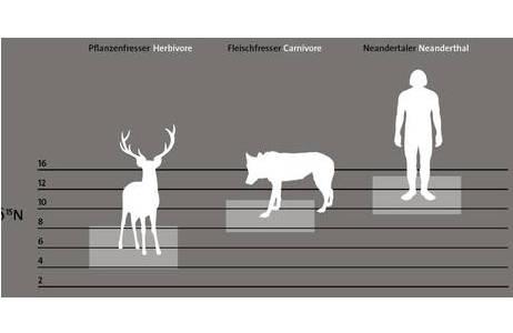 """Stickstoffisotopenanteil bei Pflanzenfressern, Fleischfressern und beim Neanderthaler. Die Neanderthaler ernährten sich nach dieser Messung überwiegend von Fleisch; Foto: Grafik nach Fuhrer 2013 – Dauerausstellung """"Mensch(en) werden"""" - NHM Wien"""
