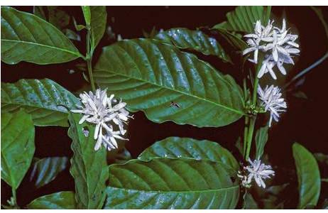 Blüten von Kaffeepflanze; Foto: M. A. Fischer