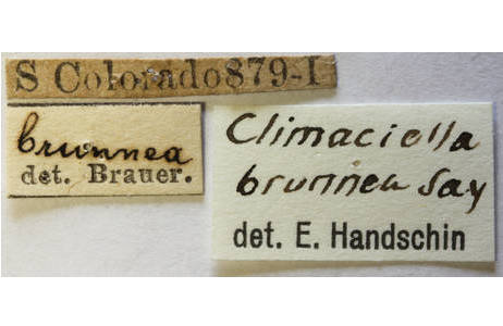 Wespen-Fanghaft (Climaciella brunnea), Fundortetikett; Foto: NHM Wien, H. Bruckner