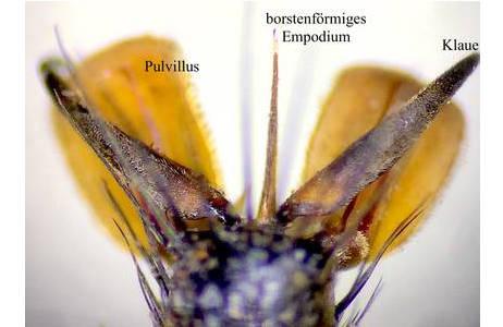 Abb. 3. Raubfliege (Laphria gibbosa), paarige Haftlappen (Pulvillen) zwischen den Endklauen des letzten Fußgliedes. Dazwischen steht eine spitze Borste, das Empodium.; Foto: M. Lödl, NHM Wien