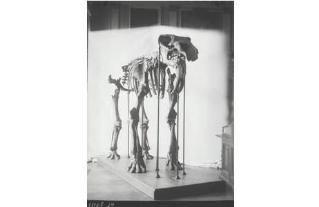 Lotte Adametz, Feber 1908 N°12 Dinotherium bavaricum von Franzensbad von Vorne, Wien 1908; Foto: NHM Wien, Archiv für Wissenschaftsgeschichte