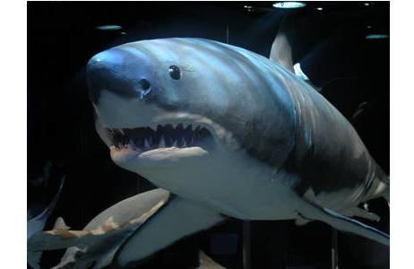 Weißer Hai: Foto: A. Schumacher, NHM Wien