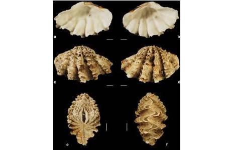 Verschieden Ansichten des neu ernannten Lectotypus von Tridacna squamosina aus dem Roten Meer/ Insel Kamaran [NHMW-MO-107075/Lectotypus]; Foto: S. Schnedl, NHM Wien