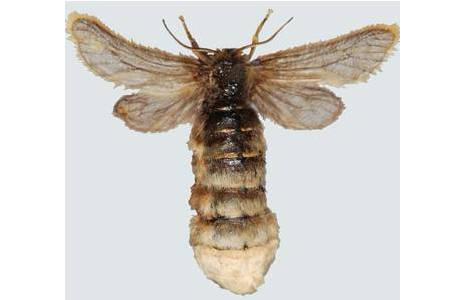 Trauerspinner (Pentophera morio), Weibchen, Niederösterreich, Manhartsbrunn. Reduktion der Flügel zu Stummelflügeln; Foto: M. Lödl, NHM Wien
