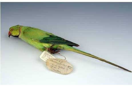 Halsbandsittich, Psittacula k. krameri, adultes Männchen [demontiertes Stopfpräparat]; Foto: A. Schumacher, NHM Wien
