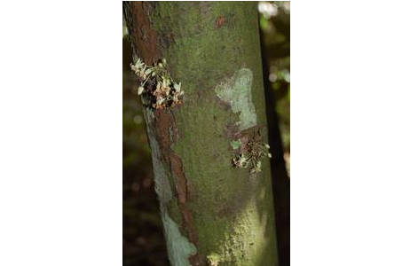 Blüten des Kakaobaums; Foto: Heimo Rainer, NHM Wien