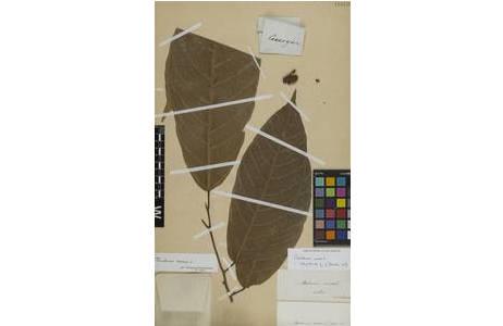 Herbarbeleg von Theobroma cacao L. [W1889-0118132]; Foto: NHM Wien