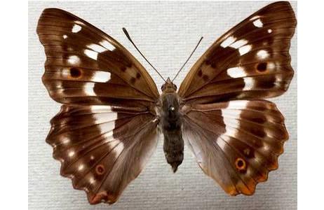 Kleiner Schillerfalter (Apatura ilia), Weibchen; Foto: M. Lödl, NHM Wien