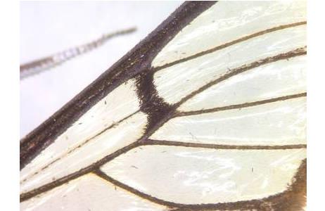 Homoeocera gigantea, Costa Rica, Fügel Detail; Foto: M. Lödl, NHM Wien