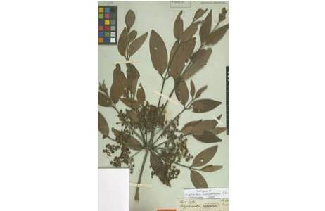 Typus Beleg von Calyptranthes melanoclada O. Berg [W0031797]  gesammelt von (Johann Baptist) Emanuel Pohl in der Umgebung von Rio de Janeiro auf der k.k. Brasilien Expedition 1817-1820; Foto: NHM Wien