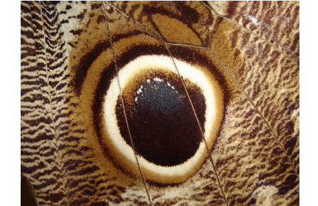 """""""Eulenaugen"""" auf der Unterseite des Hinterflügels eines Bananenfalters (Caligo sp.) aus Peru; Foto: M. Lödl, NHM Wien"""