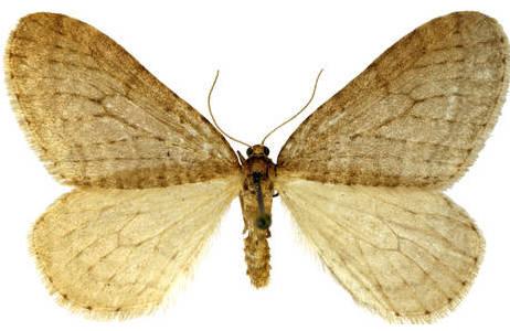 Die Flügel des Männchens sind vollständig entwickelt, grau bis hellbraun mit undeutlichem Muster; Foto: H. Bruckner, NHM Wien