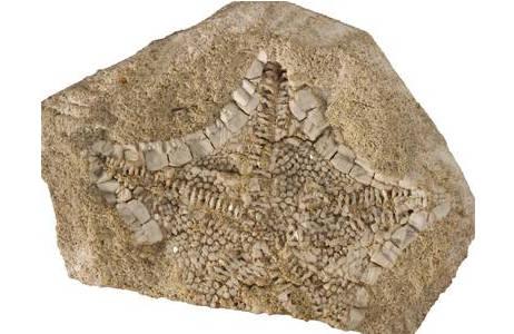 Fossiler Kissenseestern (1877-0025-0051)