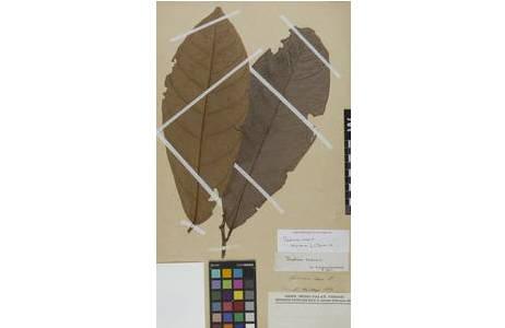 Beleg von Theobroma cacao L. im Herbar W [W1889-0105861]