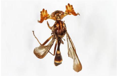 Phytalmia alcicornis; Foto: NHM Wien