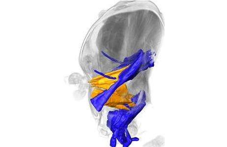 Mikro-Computertomographische Aufnahme des Kopfes der Stechimme Pison chilense mit Rekonstruktion des Kopfinnenskeletts (obere blaue Struktur), der daran ansetzenden Muskeln (orange), sowie eines Teils der Mundwerkzeuge (untere blaue Struktur).