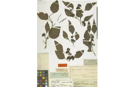 Typus Beleg von Eucalyptus baueriana Schauer,  gesammelt von Ferdinand Bauer in der Umgebung von Sydney in den Jahren 1801-1805; Foto: NHM Wien