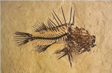 Fossil eines Drachenkopf-Fisches (1988-0001-0049)