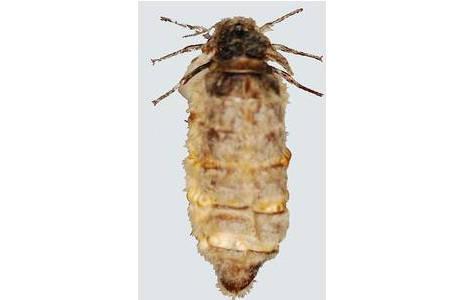 Schlehen-Bürstenspinner (Orgyia antiqua), flügelloses Weibchen, Niederösterreich, Strasshof; Foto: M. Lödl, NHM Wien