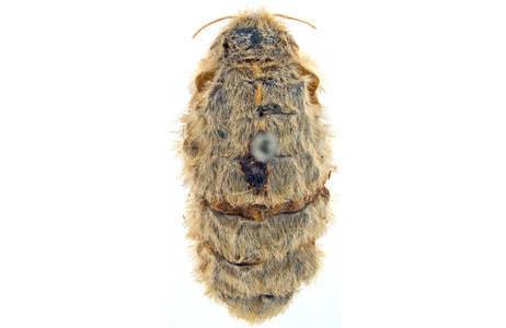 Die Flügel der Weibchen sind reduziert. Die Weibchen locken die Männchen mit Pheromonen an; Foto: H. Bruckner, NHM Wien