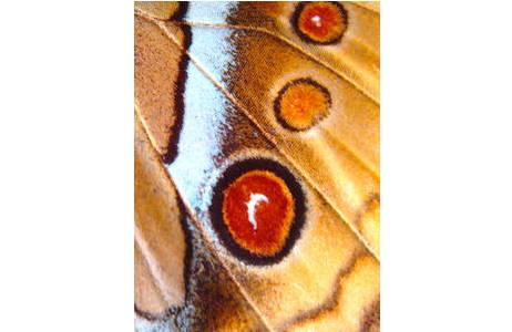 Abb. 3: Stichophtalma howqua, Indien, Augenflecke auf der Unterseite der Hinterflügel; Foto: M. Lödl, NHM Wien