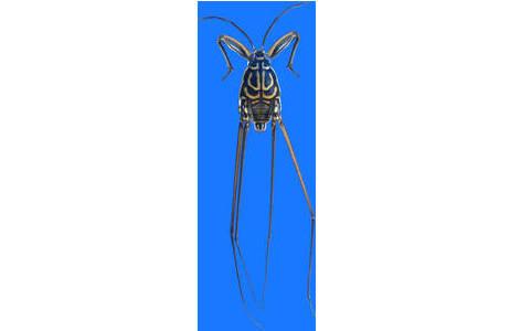 Metrocoris communis, flügelloses Männchen aus dem Oman (Inv.Nr. HEM4508); Foto: H. Bruckner, NHM Wien