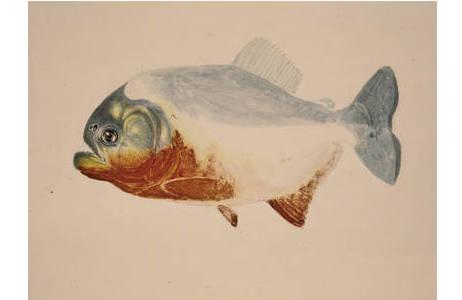 Serrasalmus nattereri (Natterers Sägesalmler), Aquarell, H 33,1 x B  50,2 cm, um 1824