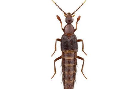 Turgiditarsus ledangensis SCHILLHAMMER (Malaysia). Das erste bekannte Exemplar der Gattung – Körperlänge ca. 10 mm; Foto: H. Schillhammer, NHM Wien