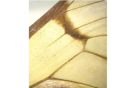 Ithomiinae (Unterfamilie der Edelfalter), Peru, deutlich zu sehen: die dunklen Adern auf durchsichtigem Flügel; Foto: M. Lödl, NHM Wien