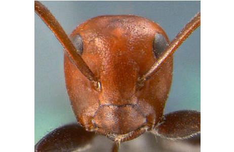 Kopfansicht der Ameise; Foto: NHM Wien