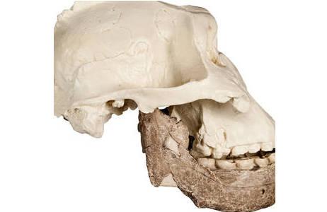 Rekonstruktion eines Paranthropus Schädels anhand von zwei Fossilfunden aus Ostafrika.; Foto: W. Reichmann, NHM Wien