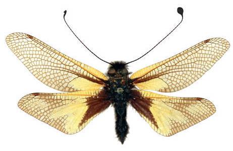Libellen - Schmetterlingshaft (Libelloides coccajus); Foto: NHM Wien, H. Bruckner