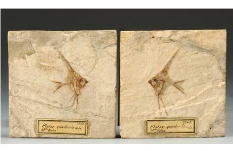 Petersfisch in Druck und Gegendruck (1843-0025-0004)