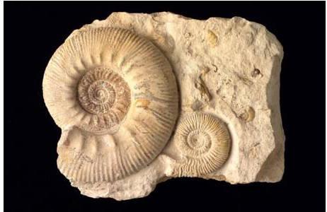 Männliche und weibliche Ammoniten (1997z-0134-0001)